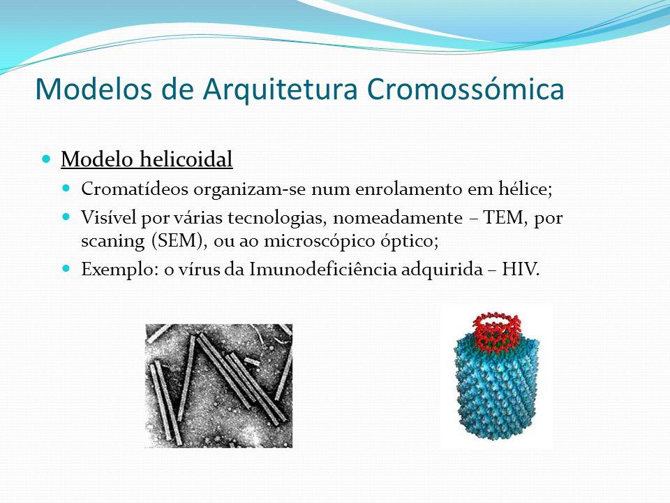 Modelos de Arquitetura Cromossómica Modelo misto Modelo que combina os dois anteriores: A fibra organiza-se como o 1.º nível, em ansas radiais; A contracção dos cromossomas é conseguida pela compactação, o enrolamento helicoidal, das fibras de 200 – 300 nm, compostos por ansas radiais de 20 – 30 nm.