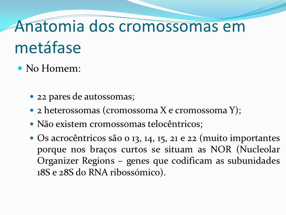 Anatomia dos cromossomas em metáfase No Homem: 22 pares de autossomas; 2 heterossomas (cromossoma X e cromossoma Y); Não existem cromossomas telocêntricos; Os acrocêntricos são o 13, 14, 15, 21 e 22 (muito importantes porque nos braços curtos se situam as NOR (Nucleolar Organizer Regions – genes que codificam as subunidades 18S e 28S do RNA ribossómico).