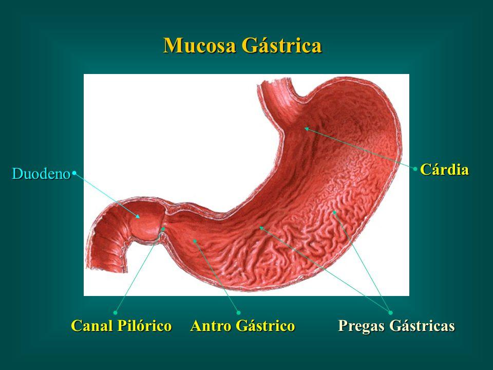 Antro Gástrico Canal Pilórico Duodeno Cárdia Mucosa Gástrica Pregas Gástricas