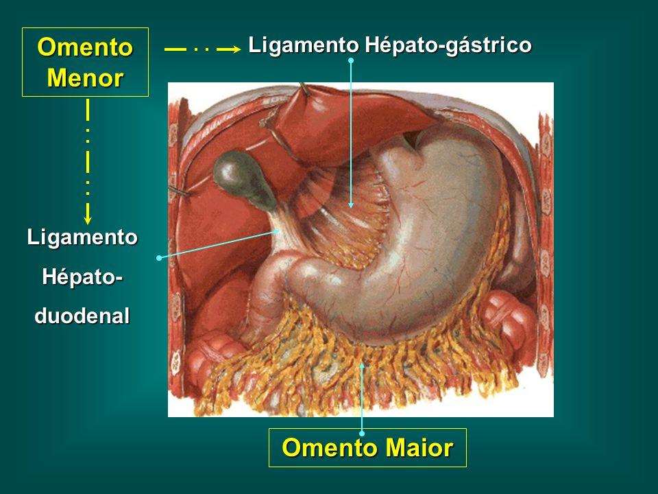 Omento Menor Ligamento Hépato-duodenal Ligamento Hépato-gástrico Omento Maior