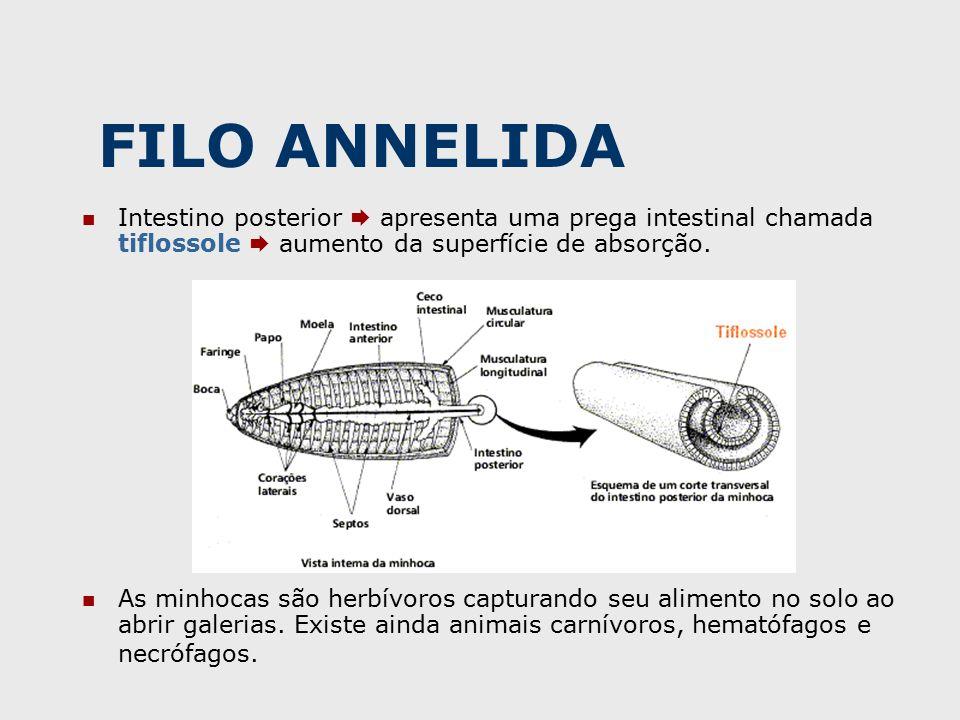 Intestino posterior  apresenta uma prega intestinal chamada tiflossole  aumento da superfície de absorção.