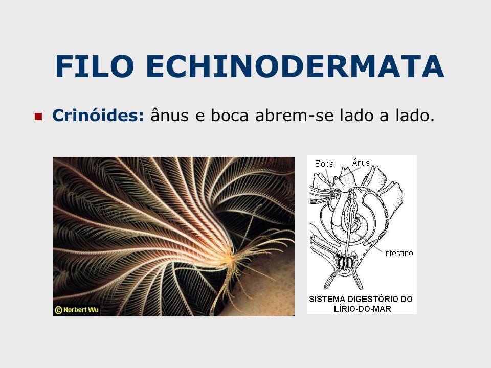 FILO ECHINODERMATA Crinóides: ânus e boca abrem-se lado a lado.