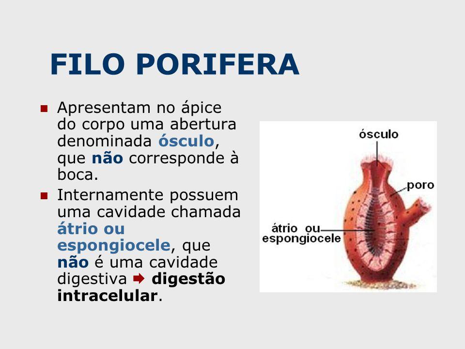 FILO PORIFERA Apresentam no ápice do corpo uma abertura denominada ósculo, que não corresponde à boca.