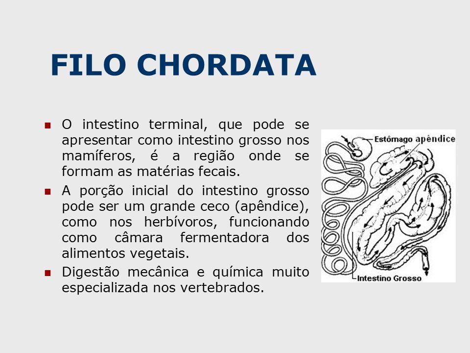 FILO CHORDATA O intestino terminal, que pode se apresentar como intestino grosso nos mamíferos, é a região onde se formam as matérias fecais.