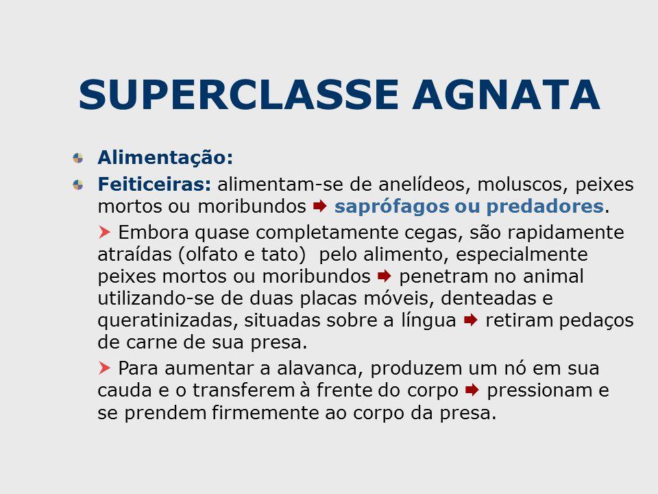 SUPERCLASSE AGNATA Alimentação: Feiticeiras: alimentam-se de anelídeos, moluscos, peixes mortos ou moribundos  saprófagos ou predadores.