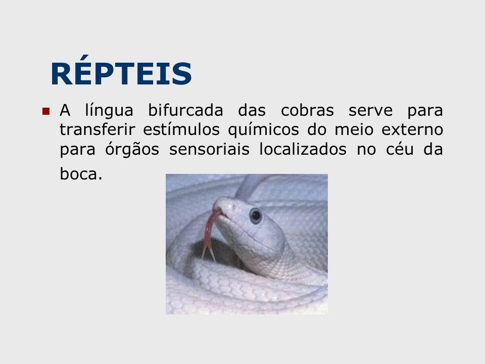 RÉPTEIS A língua bifurcada das cobras serve para transferir estímulos químicos do meio externo para órgãos sensoriais localizados no céu da boca.