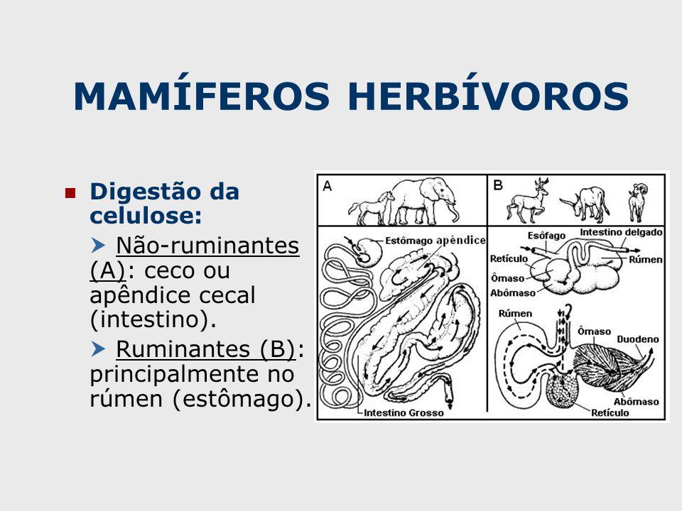MAMÍFEROS HERBÍVOROS Digestão da celulose:  Não-ruminantes (A): ceco ou apêndice cecal (intestino).