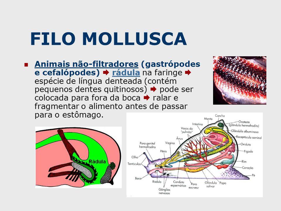 FILO MOLLUSCA Animais não-filtradores (gastrópodes e cefalópodes)  rádula na faringe  espécie de língua denteada (contém pequenos dentes quitinosos)  pode ser colocada para fora da boca  ralar e fragmentar o alimento antes de passar para o estômago.