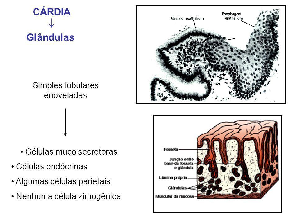 Simples tubulares enoveladas Células muco secretoras Células endócrinas Algumas células parietais Nenhuma célula zimogênica CÁRDIA  Glândulas