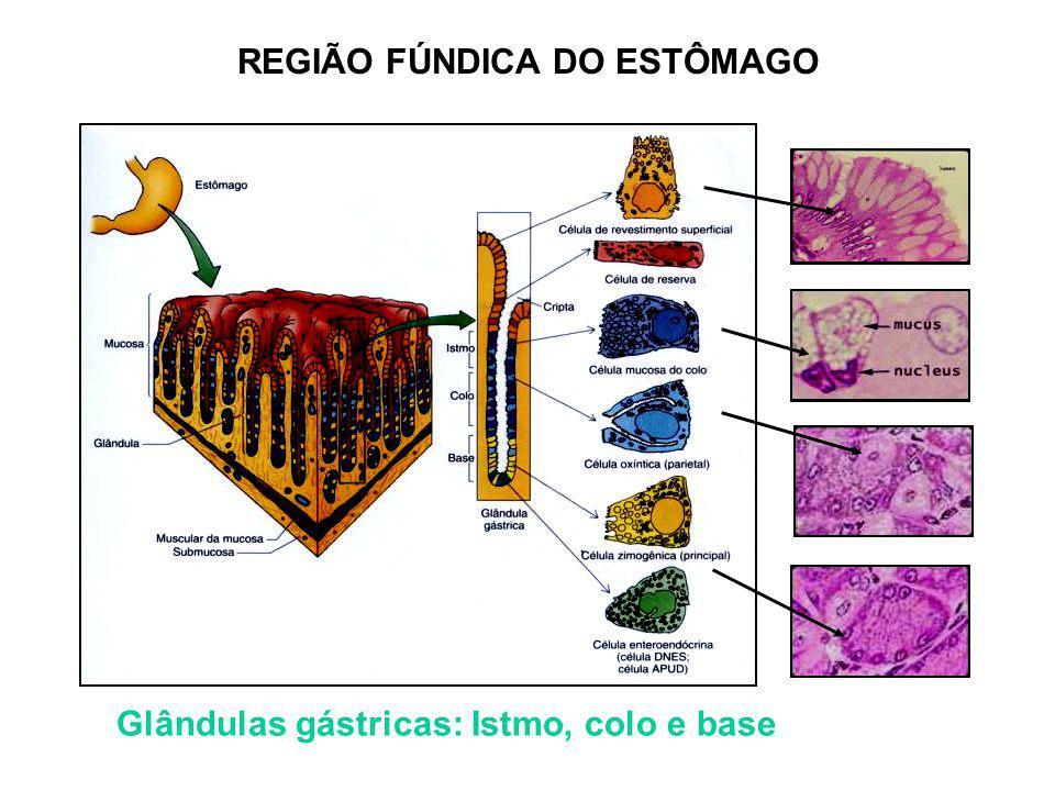 REGIÃO FÚNDICA DO ESTÔMAGO Glândulas gástricas: Istmo, colo e base