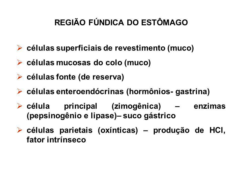 REGIÃO FÚNDICA DO ESTÔMAGO  células superficiais de revestimento (muco)  células mucosas do colo (muco)  células fonte (de reserva)  células enter