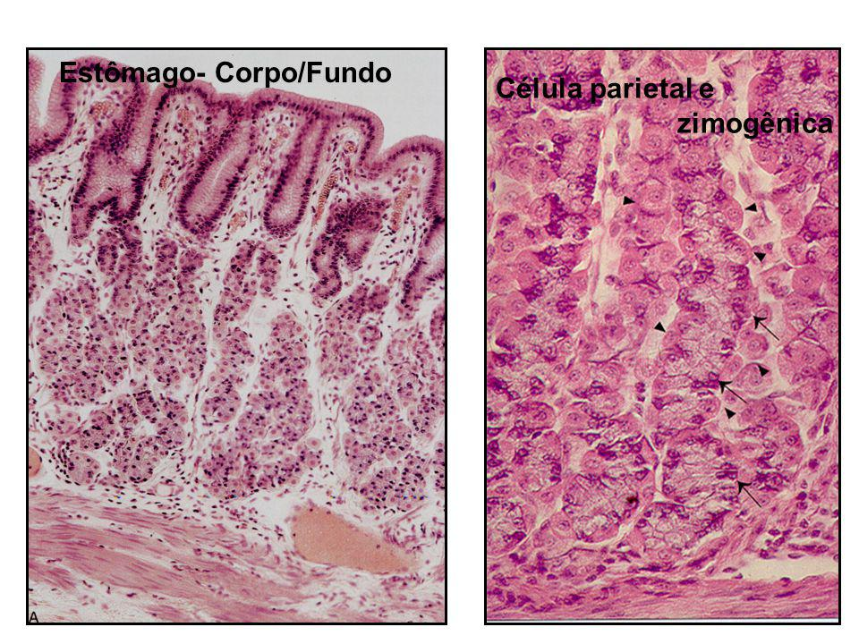 Estômago- Corpo/Fundo Célula parietal e zimogênica
