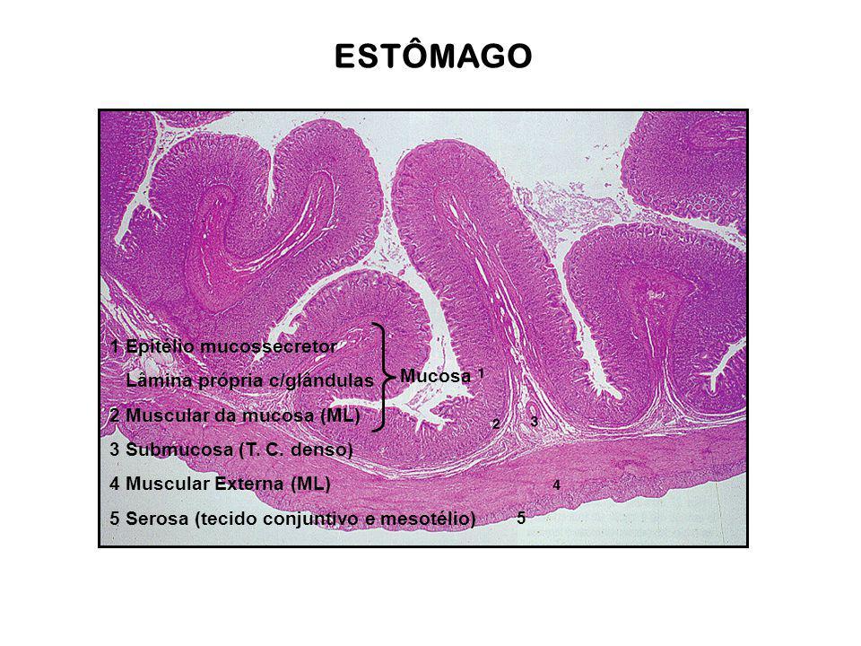 ESTÔMAGO 1 Epitélio mucossecretor Lâmina própria c/glândulas 2 Muscular da mucosa (ML) 3 Submucosa (T. C. denso) 4 Muscular Externa (ML) 5 Serosa (tec