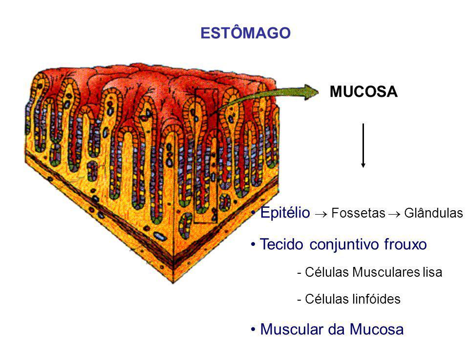 MUCOSA ESTÔMAGO Epitélio  Fossetas  Glândulas Tecido conjuntivo frouxo - Células Musculares lisa - Células linfóides Muscular da Mucosa