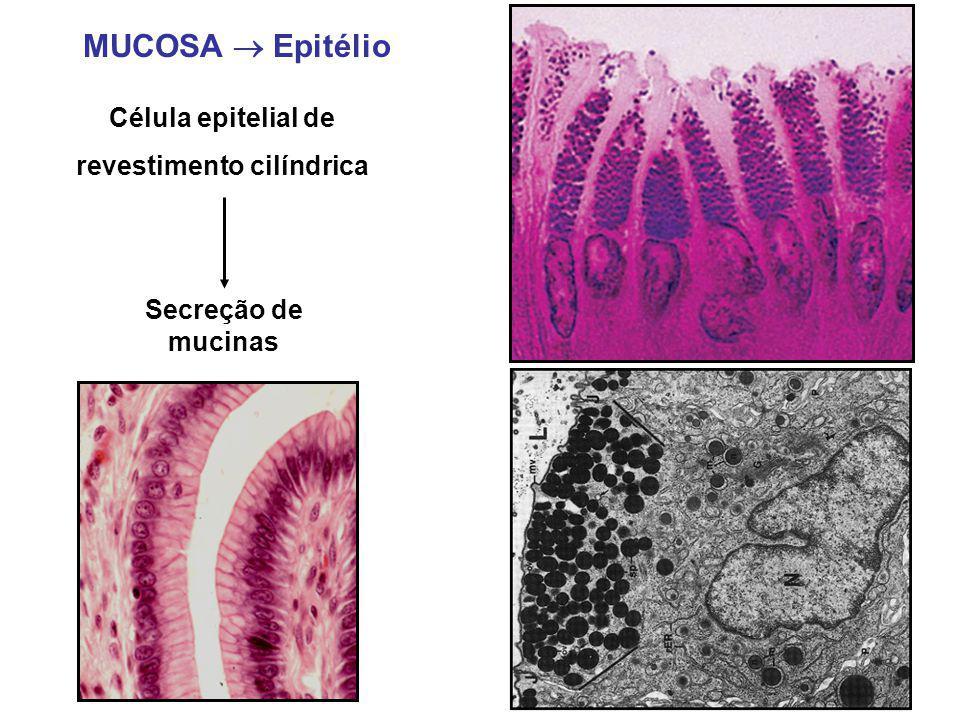 MUCOSA  Epitélio Célula epitelial de revestimento cilíndrica Secreção de mucinas