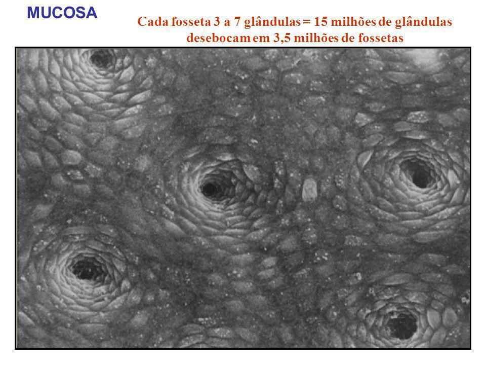 MUCOSA Cada fosseta 3 a 7 glândulas = 15 milhões de glândulas desebocam em 3,5 milhões de fossetas