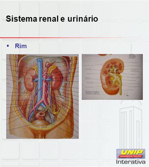 Sistema renal e urinário  Rim