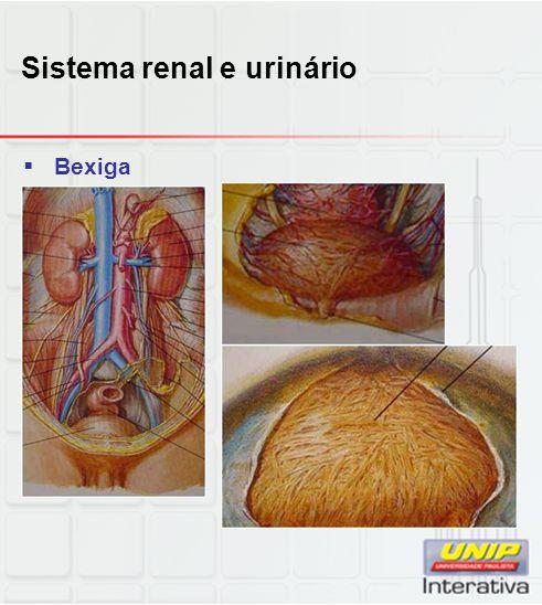 Sistema renal e urinário  Bexiga