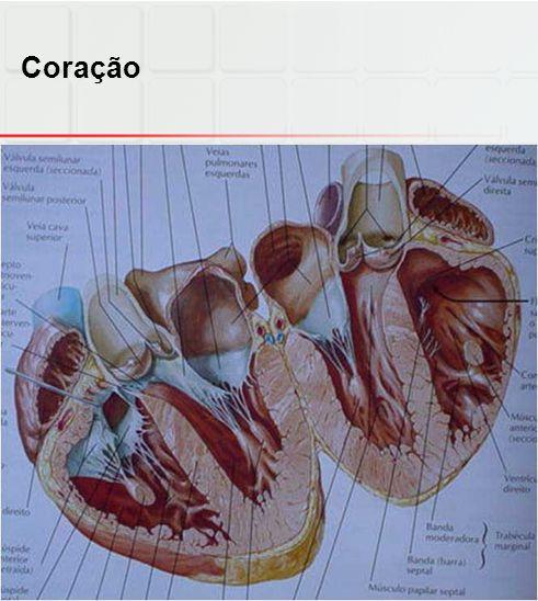 Coração  Epicárdio