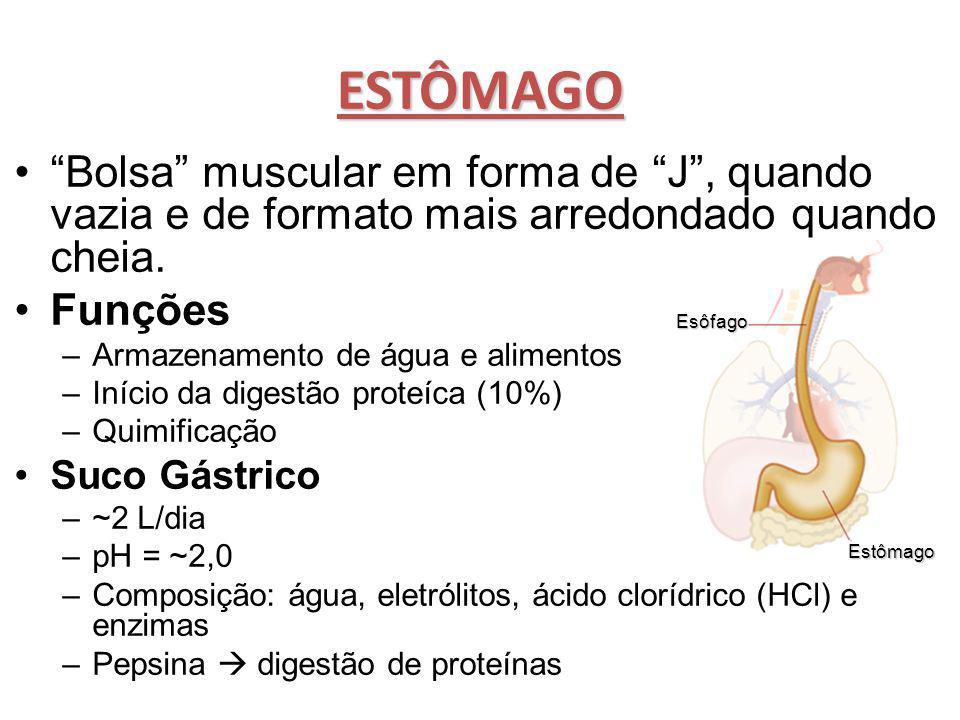 """ESTÔMAGO """"Bolsa"""" muscular em forma de """"J"""", quando vazia e de formato mais arredondado quando cheia. Funções –Armazenamento de água e alimentos –Início"""