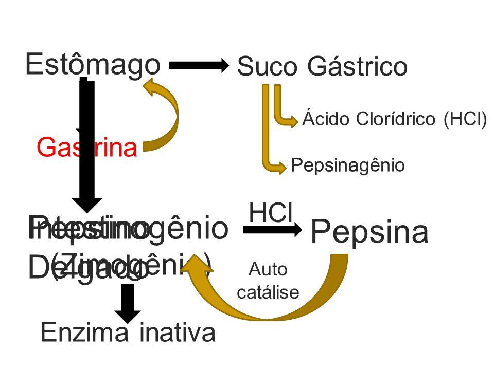 Estômago Gastrina Suco Gástrico Ácido Clorídrico (HCl) Pepsinogênio (Zimogênio) Enzima inativa Pepsina HCl Auto catálise Pepsina Intestino Delgado