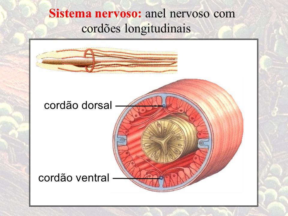 Sistema nervoso: anel nervoso com cordões longitudinais cordão dorsal cordão ventral