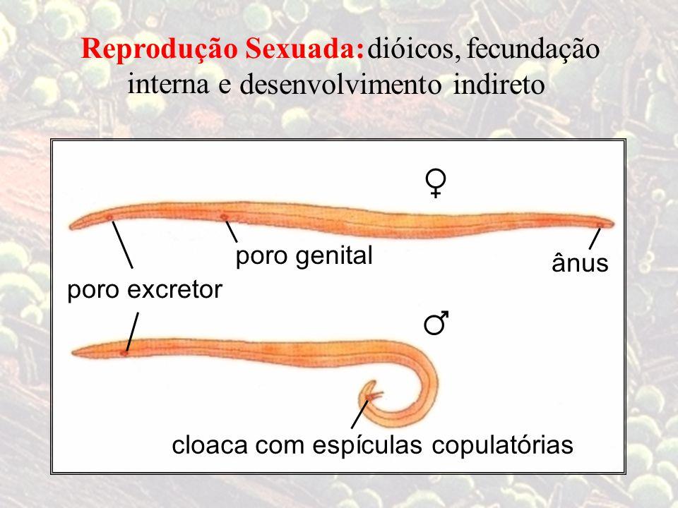 ♀ ♂ poro genital ânus cloaca com espículas copulatórias Reprodução Sexuada: dióicos,fecundação interna e poro excretor desenvolvimento indireto