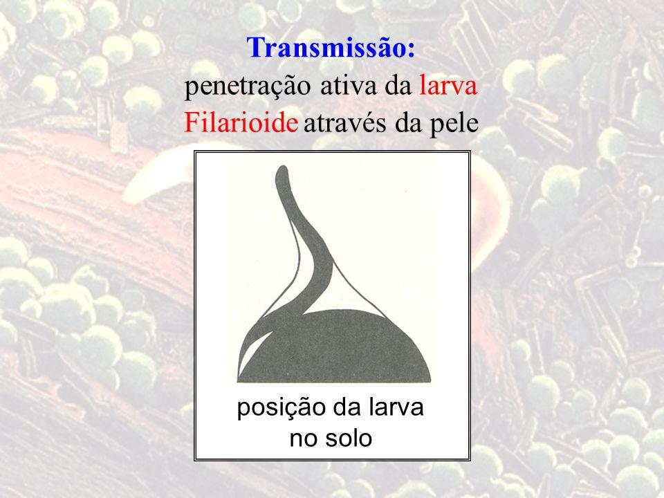 Transmissão: larvapenetração ativa da através da peleFilarioide posição da larva no solo