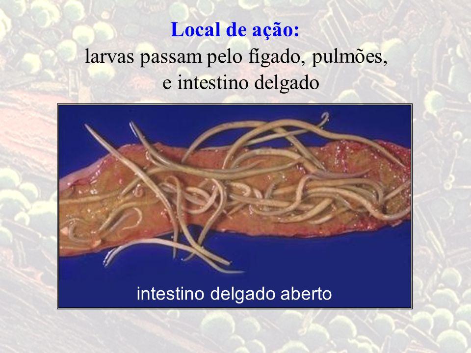 Local de ação: larvas passam pelo fígado, intestino delgado aberto pulmões, e intestino delgado
