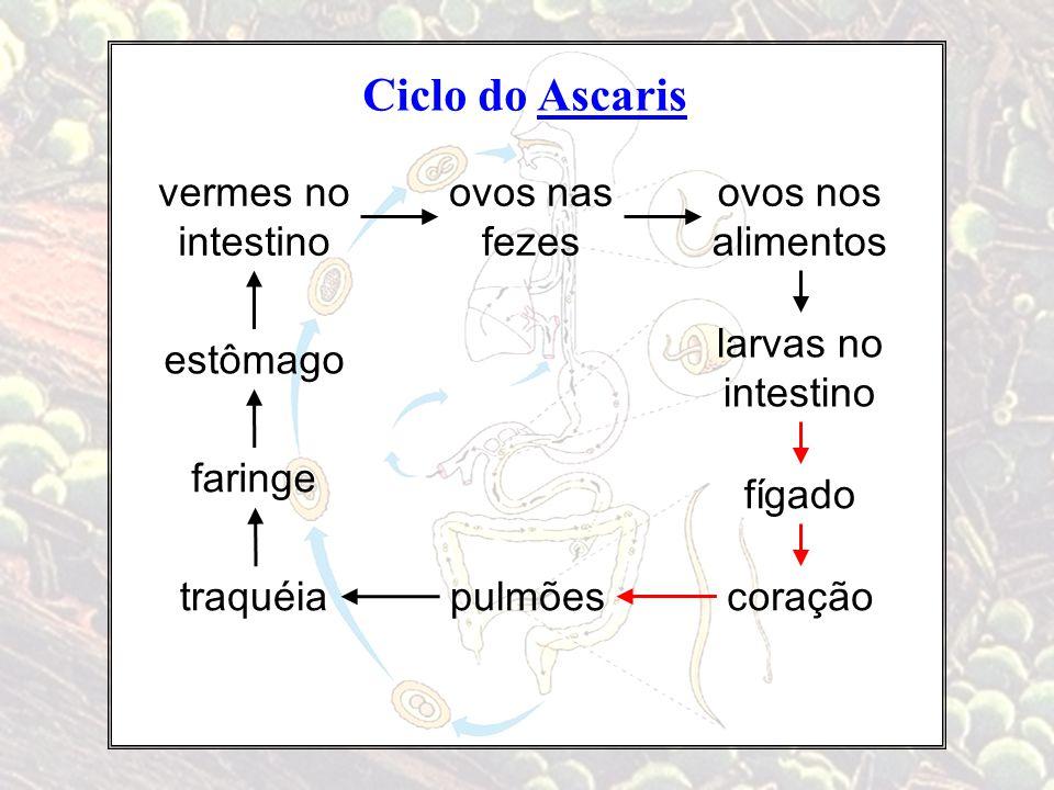 Ciclo do Ascaris vermes no intestino ovos nas fezes coração fígado larvas no intestino pulmõestraquéia faringe estômago ovos nos alimentos