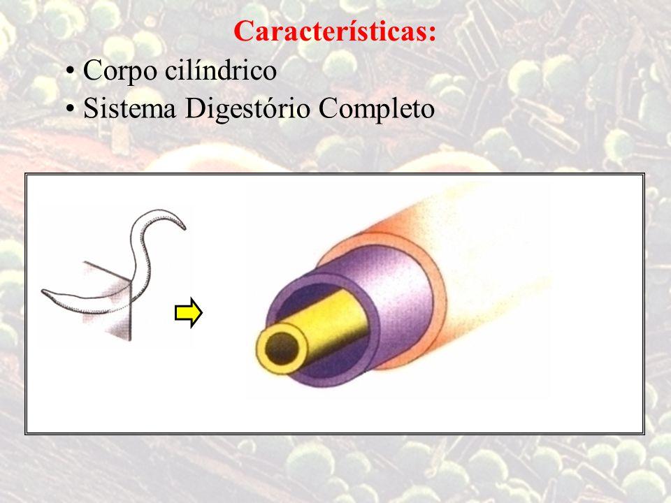 Características: Corpo cilíndrico Sistema Digestório Completo TriblásticosPseudocelomados intestino ectoderme mesoderme endoderme cavidade entre a pseudoceloma – meso e endo