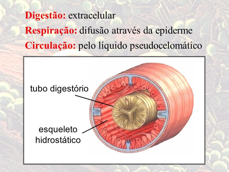 Digestão:extracelular difusão através da epiderme pelo líquido pseudocelomático Respiração: Circulação: esqueleto hidrostático tubo digestório