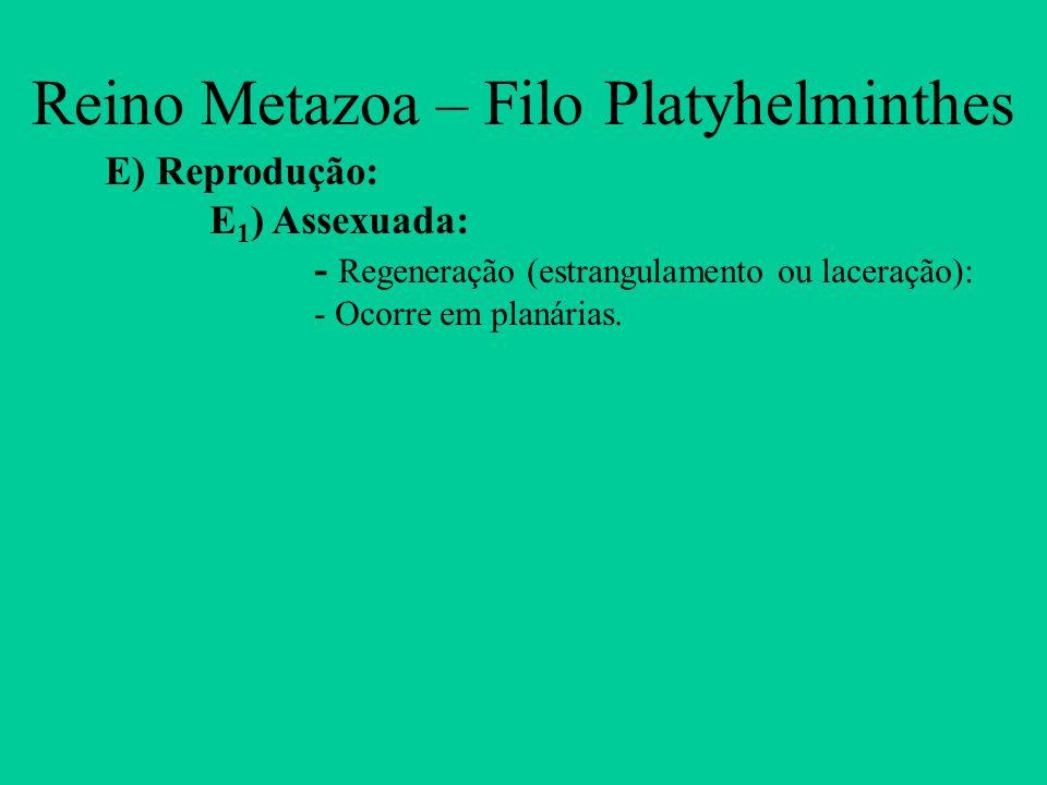 Reino Metazoa – Filo Platyhelminthes E) Reprodução: E 1 ) Assexuada: - Regeneração (estrangulamento ou laceração): - Ocorre em planárias.