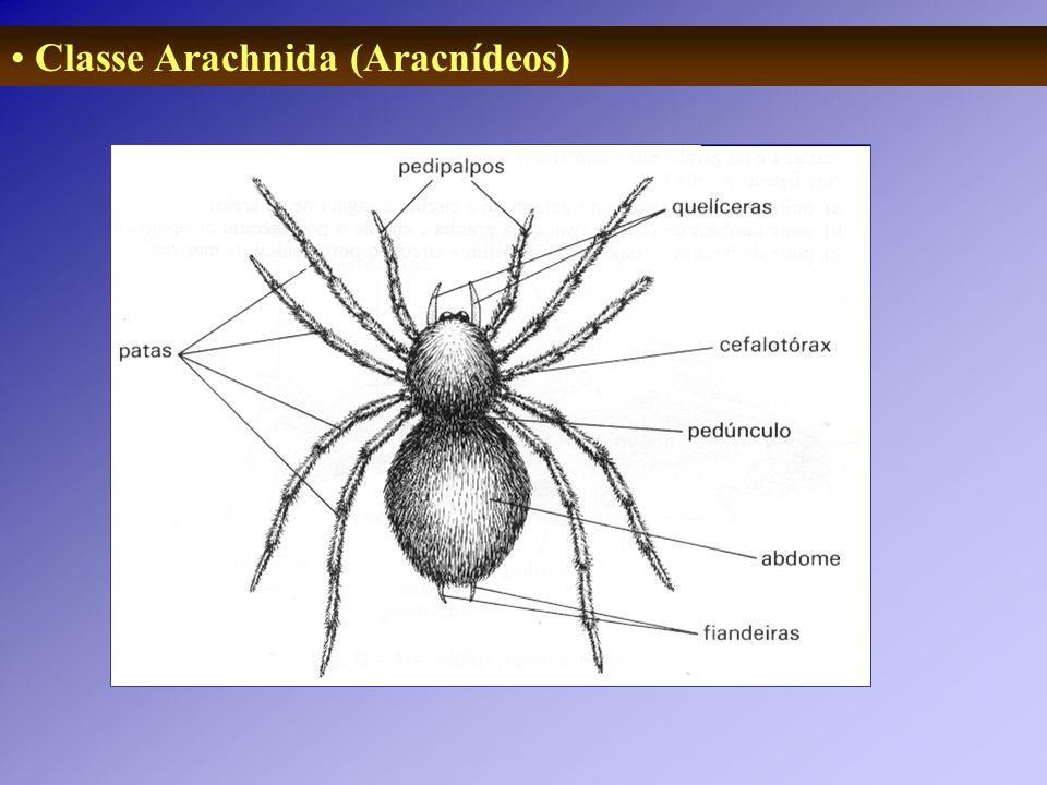 Classe Arachnida (Aracnídeos)