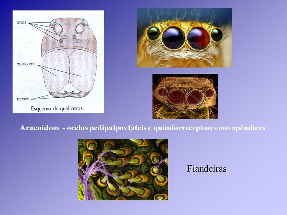 Aracnídeos - ocelos pedipalpos táteis e quimiorreceptores nos apêndices Fiandeiras