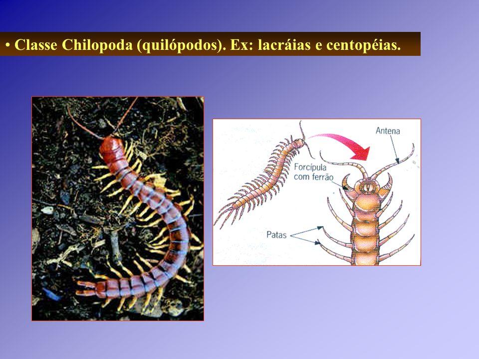 Classe Chilopoda (quilópodos). Ex: lacráias e centopéias.