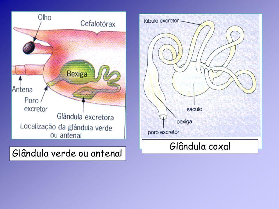 Glândula verde ou antenal Glândula coxal