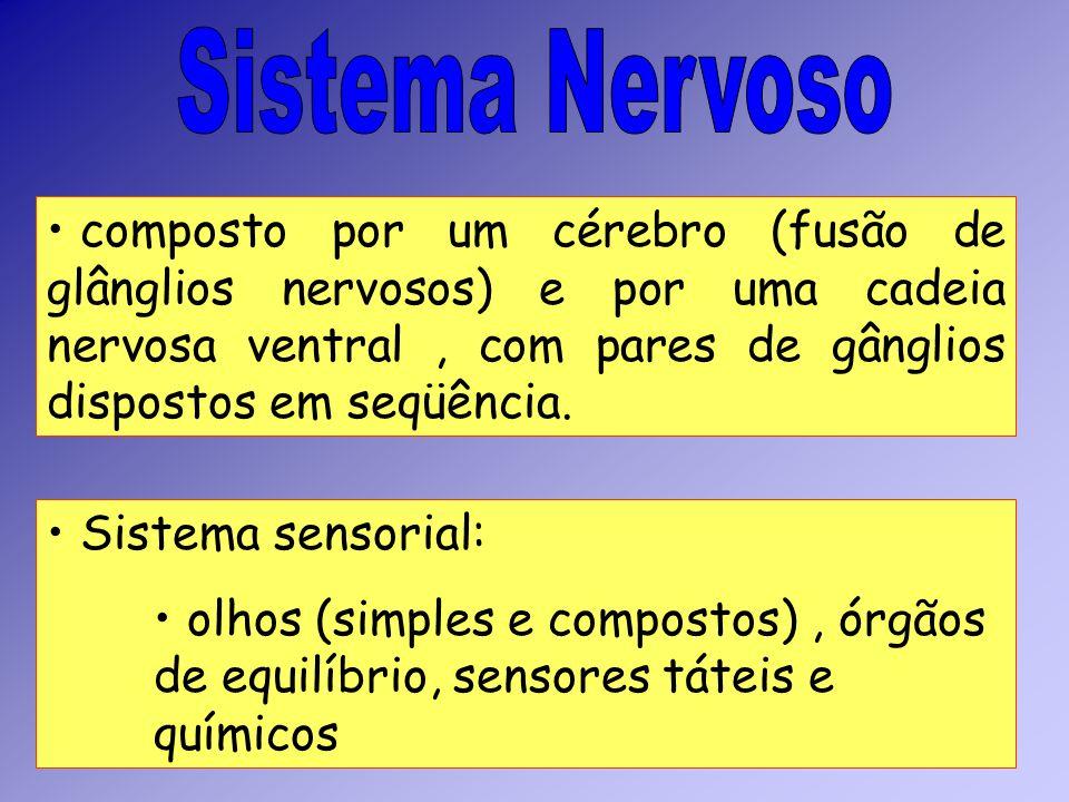 composto por um cérebro (fusão de glânglios nervosos) e por uma cadeia nervosa ventral, com pares de gânglios dispostos em seqüência. Sistema sensoria