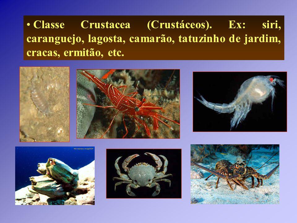 Classe Crustacea (Crustáceos). Ex: siri, caranguejo, lagosta, camarão, tatuzinho de jardim, cracas, ermitão, etc.