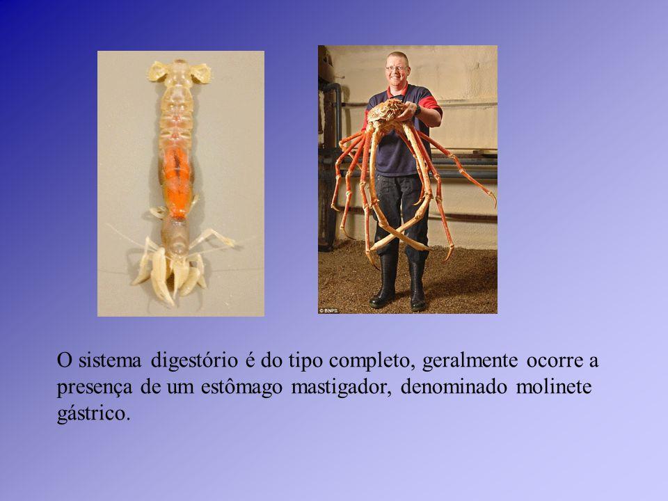 SISTEMA DIGESTÓRIO SISTEMA CIRCULATÓRIO SISTEMA RESPIRATÓRIO SISTEMA EXCRETOR SISTEMA NERVOSO A Completo (com órgãos e glândulas) Aberto (sangue circula dentro e fora dos vasos e do coração) TraquealTubos de Malphigi ganglionar B Idem BranquealGlândulas verdes Idem C Filotraqueal e traqueal Tubos de Malphigi e glândulas coxais Idem D TraquealTubos de Malphigi Idem E TraquealTubos de Malphigi Idem Fisiologia geral dos artrópodes