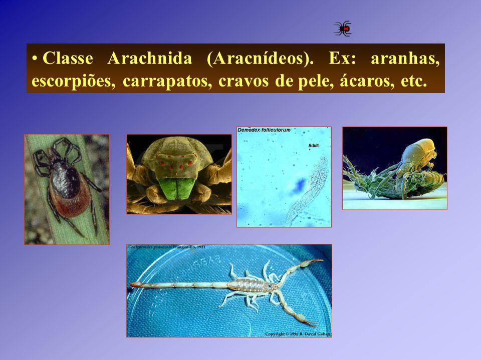 Classe Arachnida (Aracnídeos). Ex: aranhas, escorpiões, carrapatos, cravos de pele, ácaros, etc.