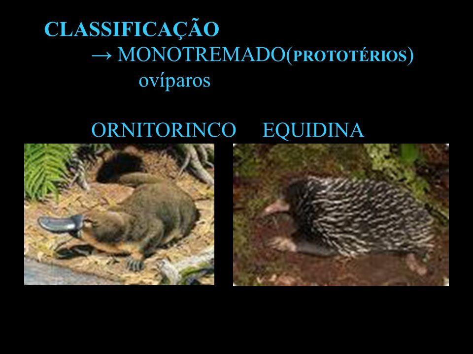 Mamíferos - Monotremos Équidina