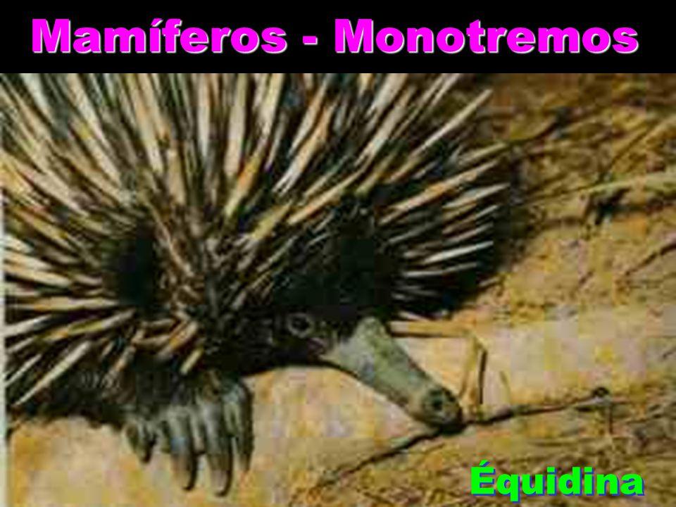 Mamíferos - Monotremos Ornitorrinco