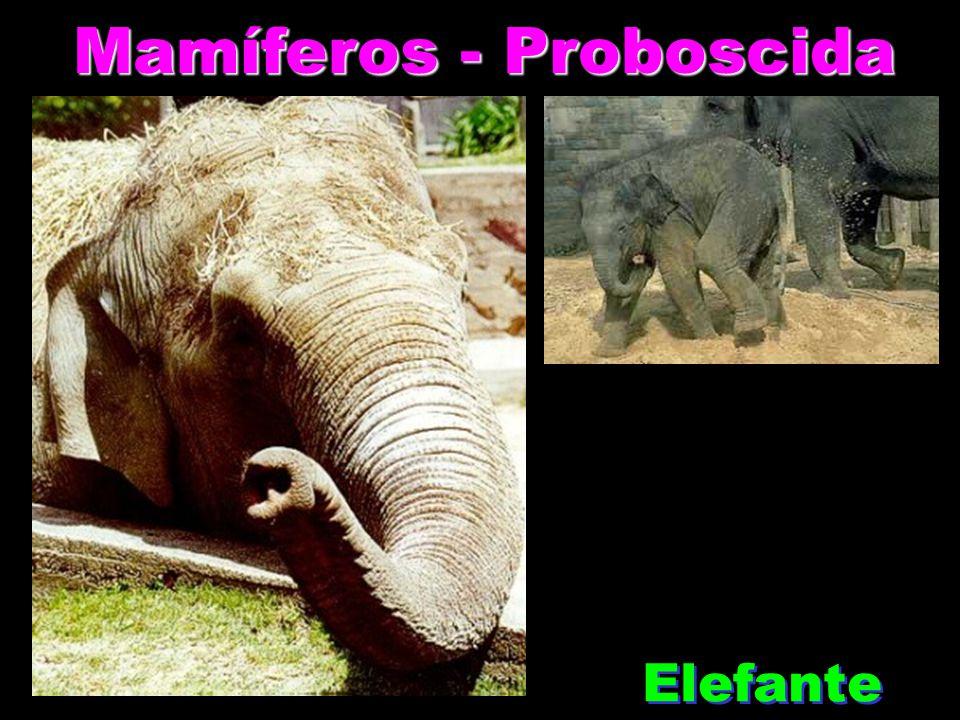 Mamíferos - Proboscida Elefante