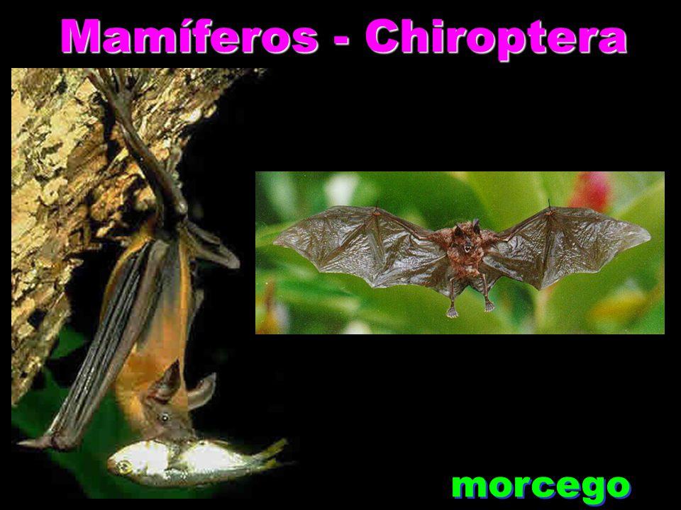 Mamíferos - Chiroptera morcego