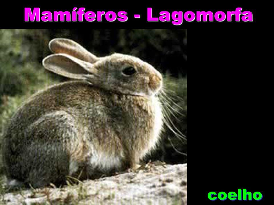 Mamíferos - Rodentia Rato