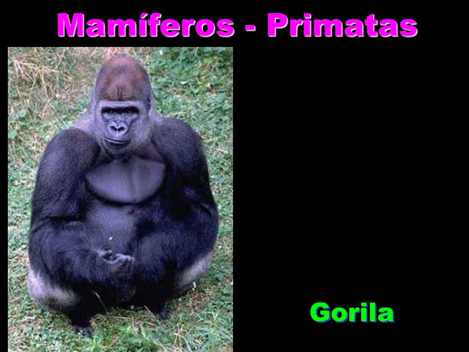 Mamíferos - Rodentia Capivara