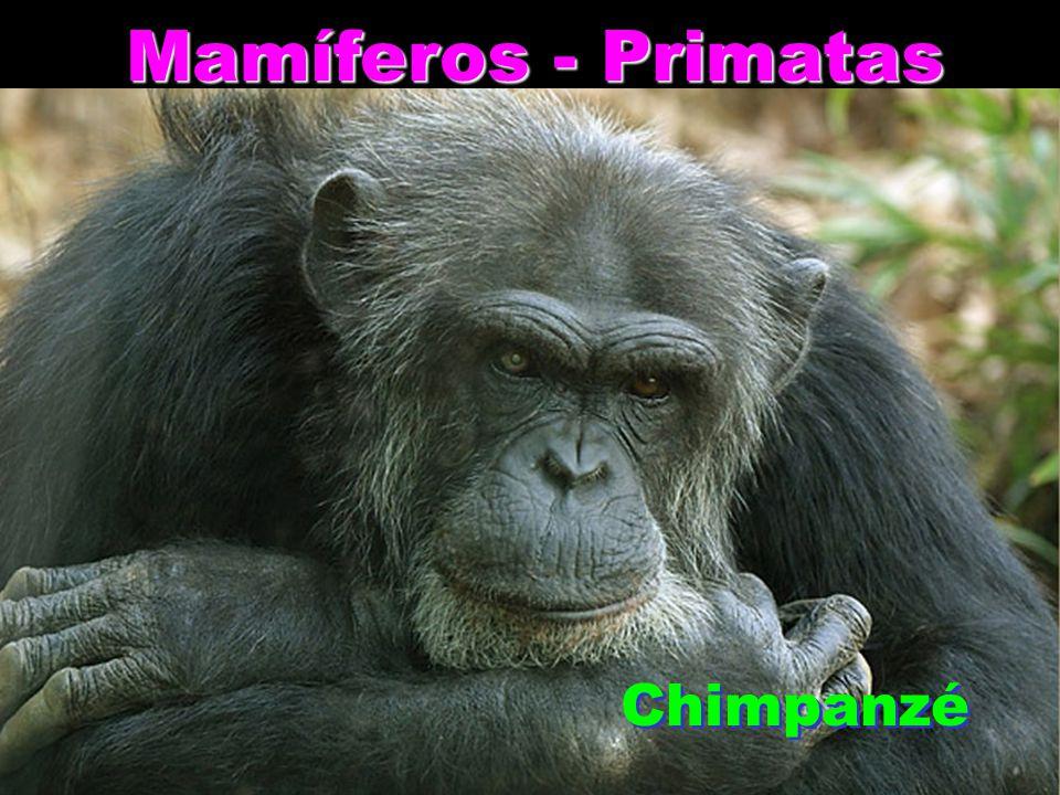 Mamíferos - Primatas Chimpanzé