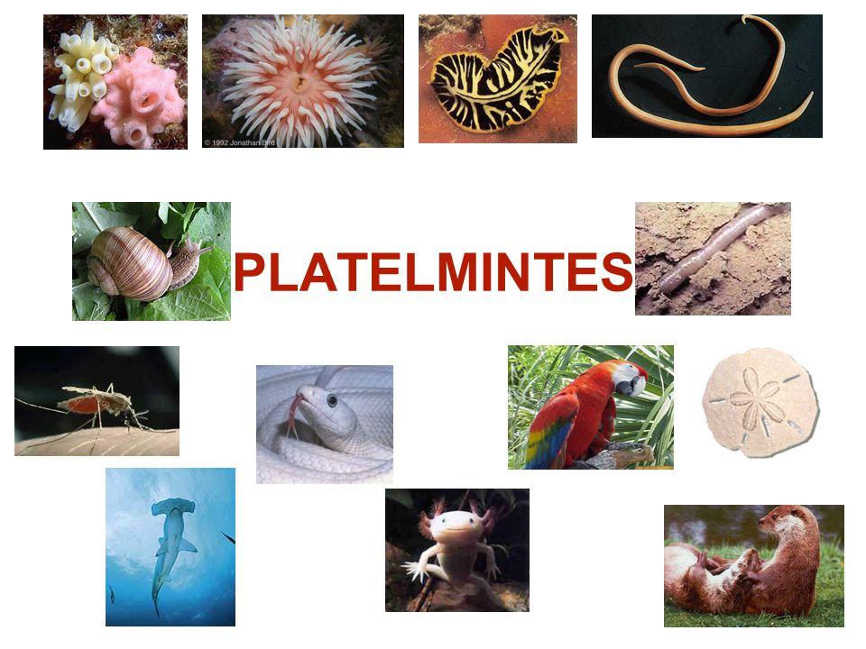 PLATELMINTES