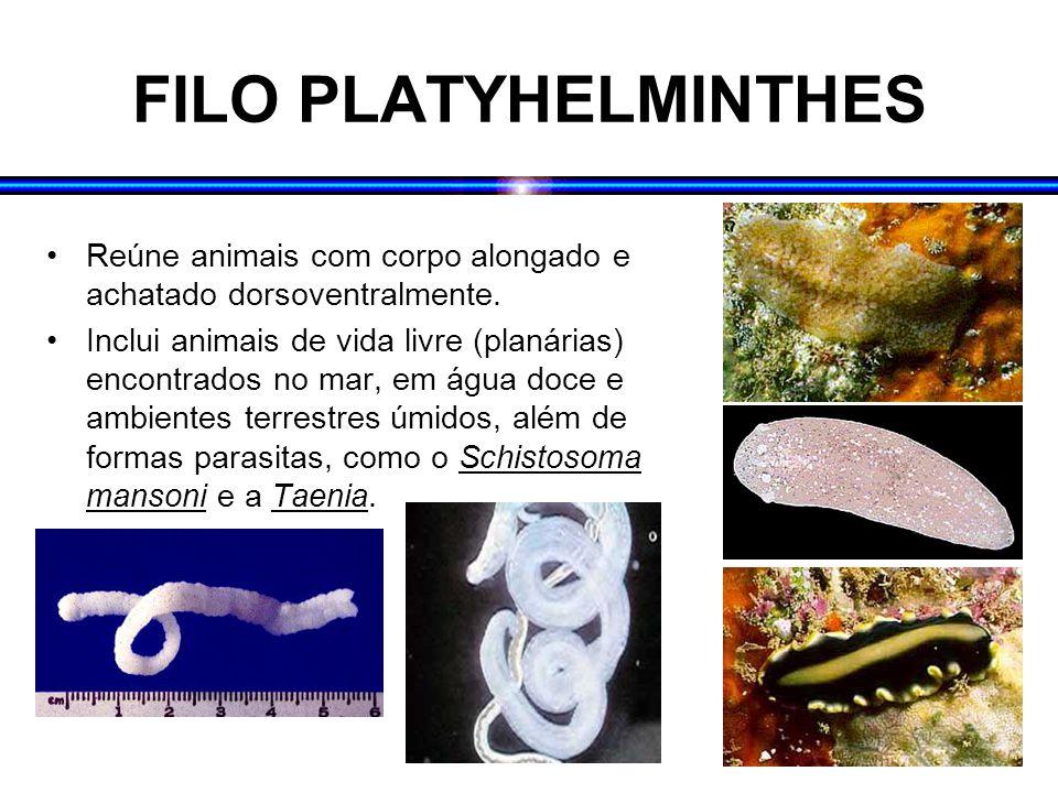 FILO PLATYHELMINTHES Reúne animais com corpo alongado e achatado dorsoventralmente. Inclui animais de vida livre (planárias) encontrados no mar, em ág